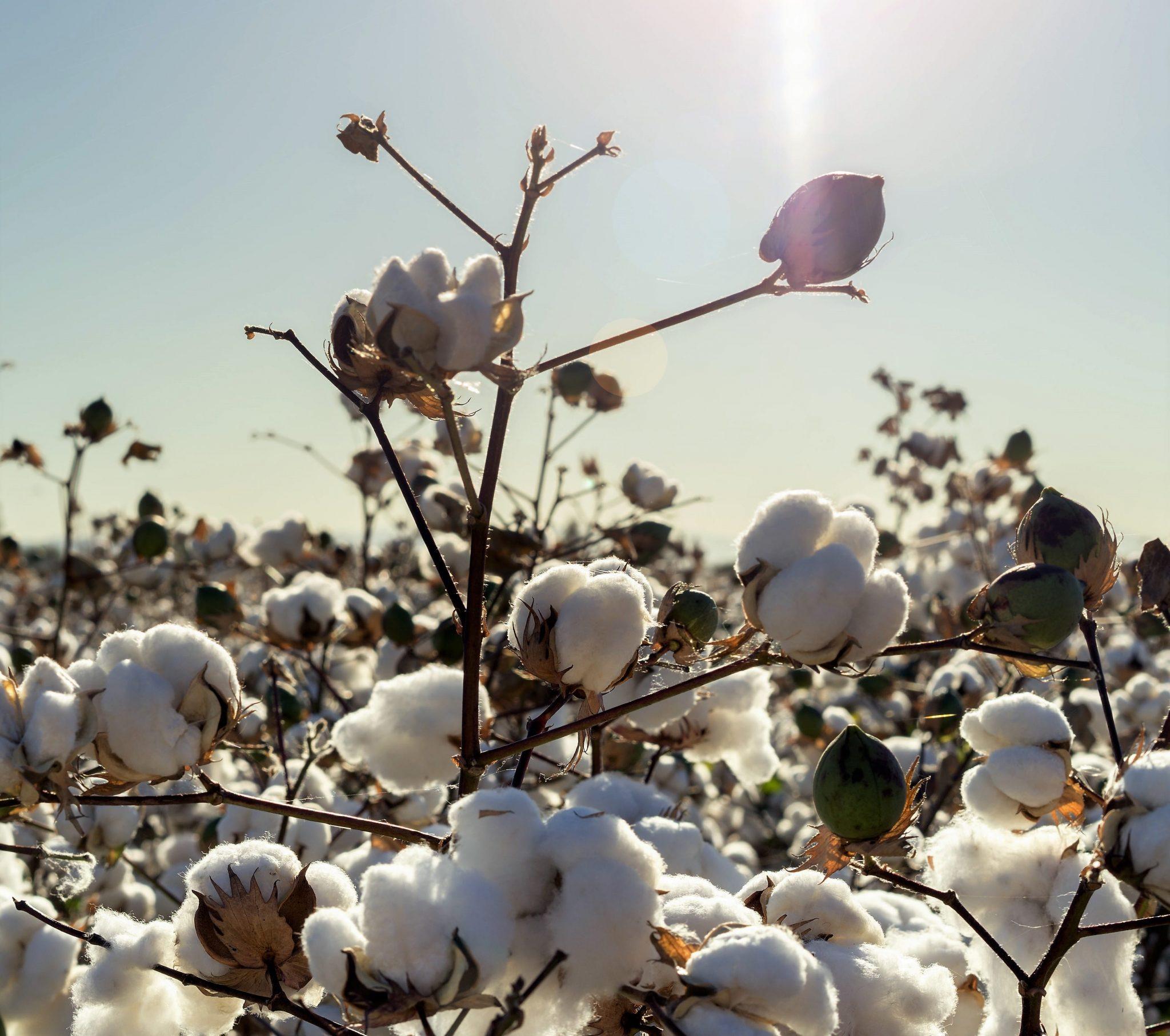 biotech info articles coton recadré