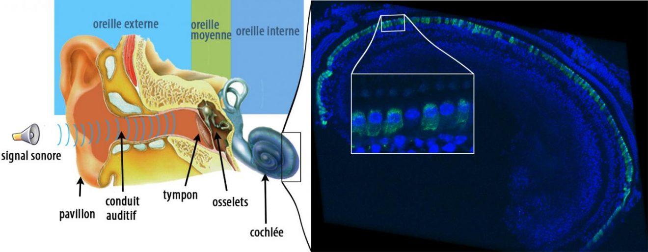 biotech info articles figcpasteur legende