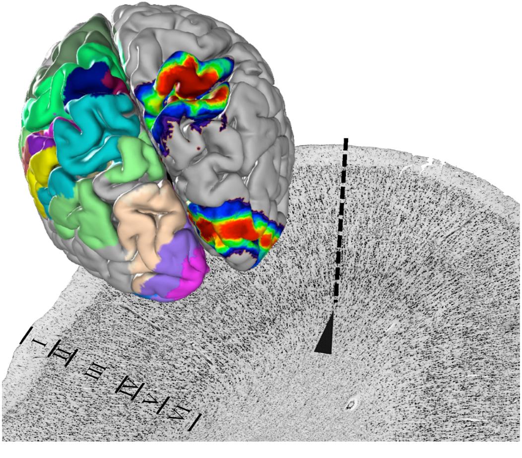 biotech info articles julich brain