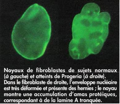 biotech info articles noyaux de fibroblastes